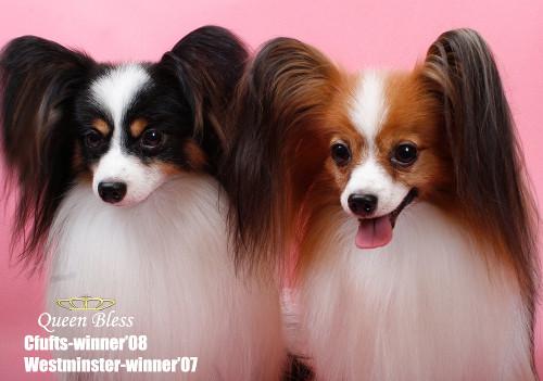 子犬を販売する【ペット・マイスター】はトップクラスのブリーダーから直接紹介