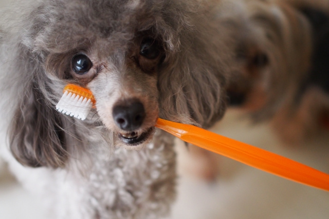 犬の歯磨きの重要性 -歯石のケアや歯磨きのご相談は【ペット・マイスター】へお任せ!- 犬が歯ブラシをくわえている画像